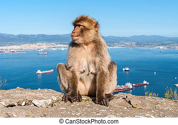 Monkey from Gibraltar - Sitting Barbary macaque on top of...