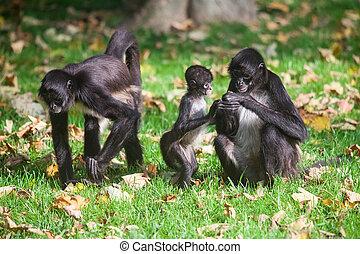 monkey., geoffroy's, geoffroyi, ateles, spin