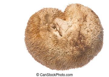 Monkey Head Mushroom Isolated - Isolated image of a Monkey...
