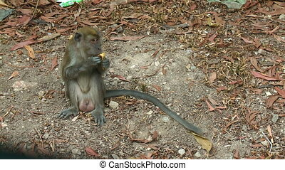 Monkey Holding A Banana Peel At A Forest, Malaysia - Medium...