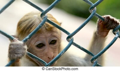 Monkey in a Cage in SriLanka - Monkey in a Cage at the Zoo