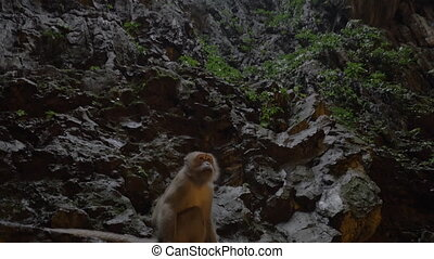 Monkey in Batu Caves, Malaysia - Monkey sitting on rocky...