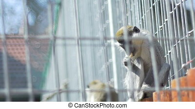 Monkey in Captivity Eating - Macaque monkey in captivity...