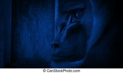 Depressed monkey looking around enclosure and crossing arms in the dark