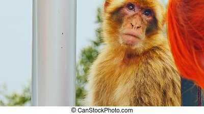 Monkey in Gibraltar. Endemic species in United Kingdom...