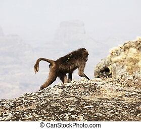 Simeon mountains - Monkey in Simeon mountains, Ethiopia