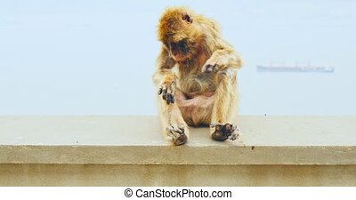 Monkey in sitting on wall - Endemic species of ape in...