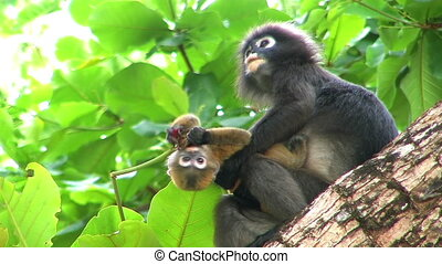 Monkey in tropics with cub. - Monkey in tropics with cub in...