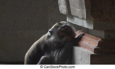 Monkey is bored and sad in Monkey Forest Ubud Bali - Monkey...