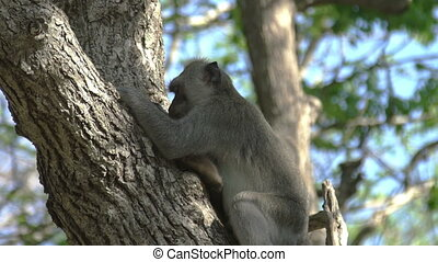 Monkey is eating in Tree Forest Bali Indonesia