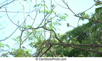 Monkey jumping from tree to tree. Slow motion - Monkeys are...
