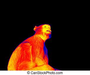 Monkey (langur Hanuman) in scientific high-tech thermal imager