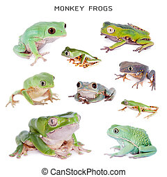 Monkey Leaf Frogs set on white
