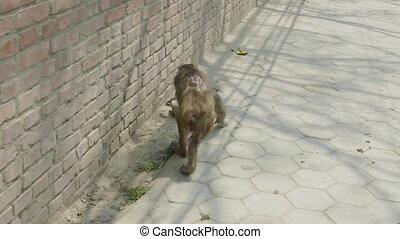 Monkey limps with open wound on back, Kathmandu, Nepal. -...