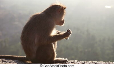 monkey looks around at dawn sitting on a rock in mountains