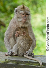 Monkey (Macaca fascicularis) at Dalem Agung Padangtegal...