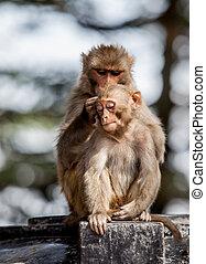 monkey - Macacus mulatta