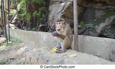 Monkey (macaque crabeater) feeding - Video 1920x1080 -...