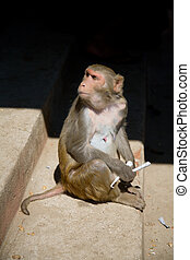 monkey (macaque) sitting on stone staircase, myanmar, ...