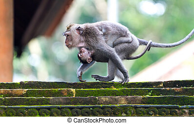 Monkey mooving with a baby