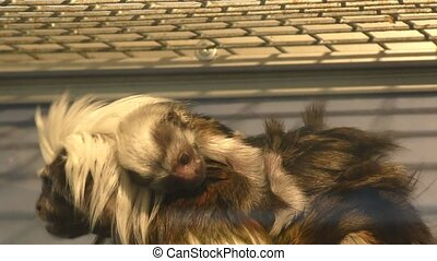 Monkey Oedipus Tamarin with cub - Oedipus Tamarin Little...