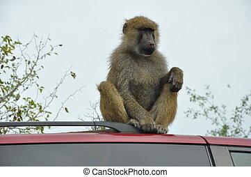 Monkey on a Car
