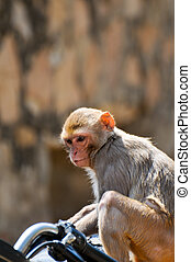 Monkey on a motorbike close up