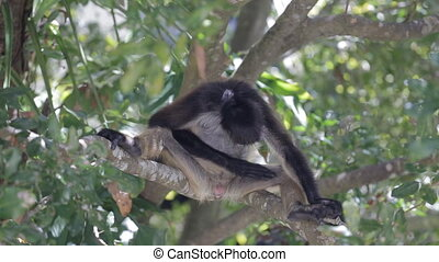 Monkey on a tree in the wild - Monkey on a tree in Mexico in...