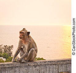 Monkey on a wall at sunset