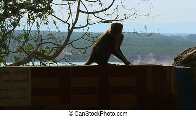 Monkey on Edge of Fence - Steady, medium wide shot of a...