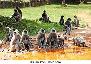 Monkey on Sri Lanka - Monkeys in Anuradhapura, Sri Lanka