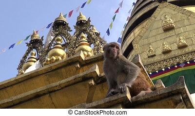 monkey  on Swayambhunath stupa