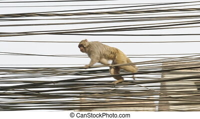 Monkey on the electricity cable in the city. Kathmandu, Nepal