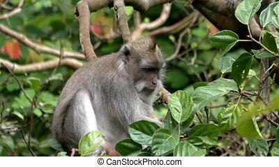 Monkey on the tree eating a fruit