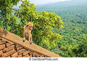 Monkey on wall of Sigiriya ancient palace, Asia - Monkey on...