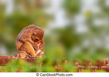 Monkey or Rhesus macaque