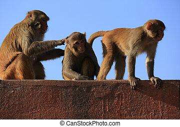 Monkey picking lice in Swayambhunath, Kathmandu, Nepal