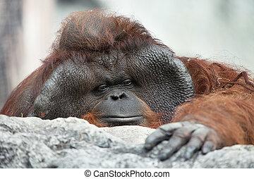 monkey portrait - portrait of thoughtful sad orangutan in...