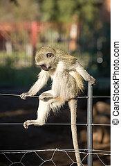 Monkey posing on fence