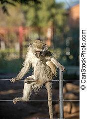 Monkey posing on fence.