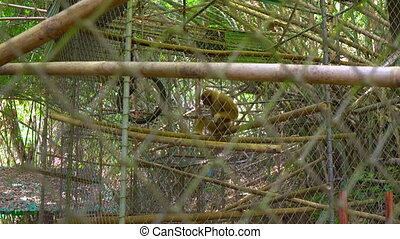 Monkey rehabilitation center. Poor gibbon that has lost his...