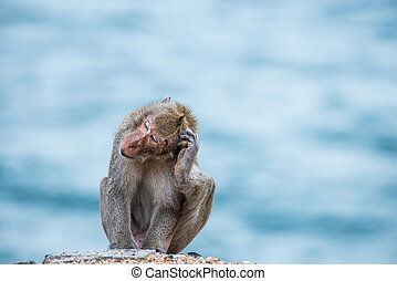 monkey scratching head, sitting on the sand with sea...