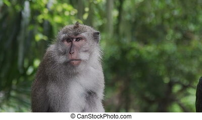 Monkey scratching his nose in Monkey Forest Bali Indonesia -...
