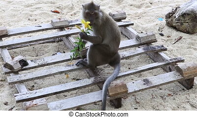 monkey sit on sand - monkey smell flower and throw it look...