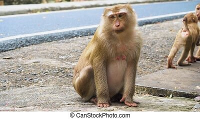 Monkey sits and stares into the camera, the family of primates