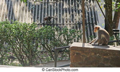 Monkey Sits on Stone against Monkeys Running about Roof in...