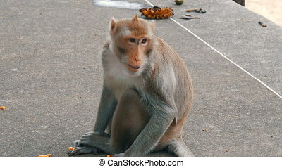 Monkey sits right on the street and eats - The monkey sits...