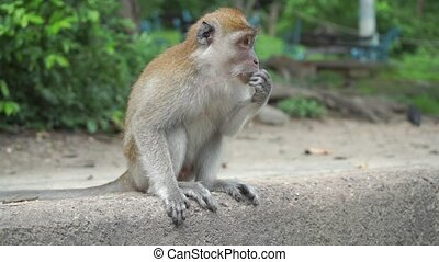 Monkey sitting, chewing and grinning, slow motion video....