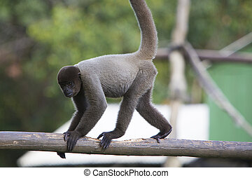 Monkey sitting in outdoors park, Manaus, Brazil