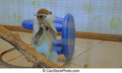 Monkey sitting near tree and eat mango fruit